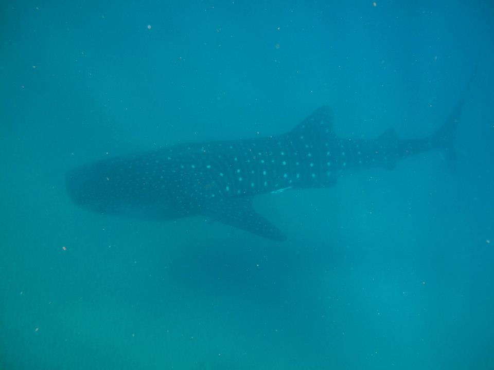 Lidia Pitzalis Whale Shark South Africa